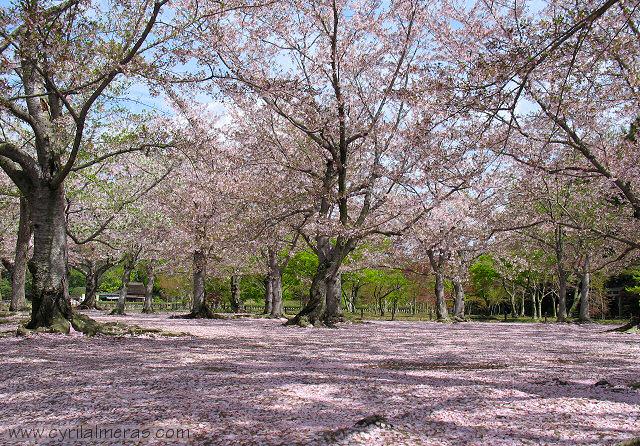 tokyo cerisiers en fleurs. Black Bedroom Furniture Sets. Home Design Ideas