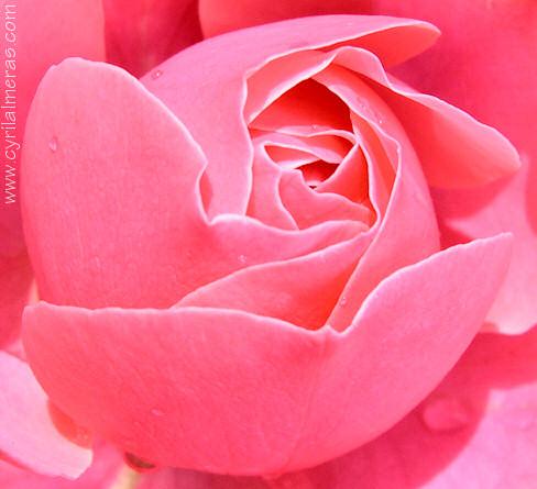 Photos de roses expo rose photographies de fleurs - Image coeur gratuit ...